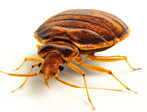 bed-bugs_pestcontrol