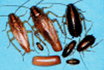 germanRoaches